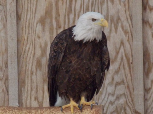 Bald Eagle at Gray Snow Eagle House in Perkins, OK