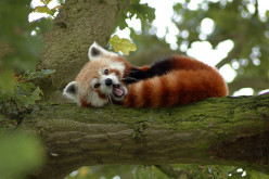 Photo Series-the Red Panda