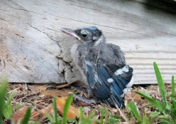 BABY ORPHAN MOCKINGBIRD BY ROBERT HEWETT SR.