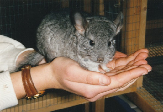 Chinchillas can be friendly pets