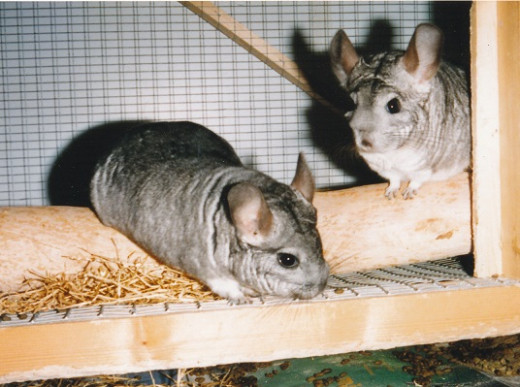 a pair of female chinchillas