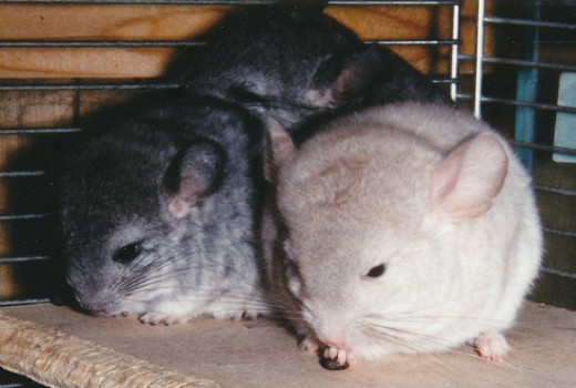 Baby chinchillas - 2 standards and 1 beige