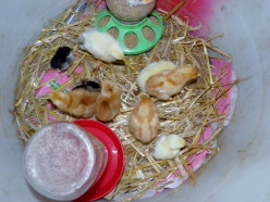 Watering baby chicks usually begin with the Mason Jar base Waterer.