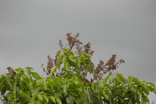 House sparrows in ivy