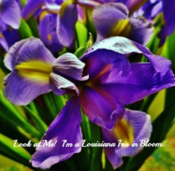 Pictures of Beautiful Cut Louisiana Iris ~ Planting Irises ~ Re-blooming Garden Flowers