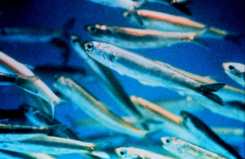 Fish oil quality comes from smaller fish such as sardines that have fewer contaminants.