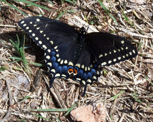 nice colors on Black Swallowtail