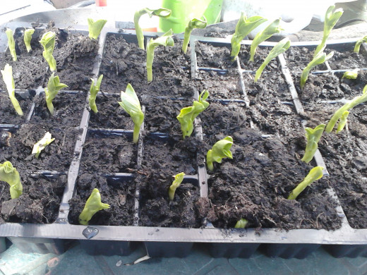 Broad beans germinated following the simple rules given above