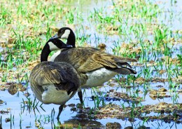 Two Canada Geese, together