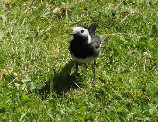 Pied wagtails sometimes fly into windows chasing their own reflection