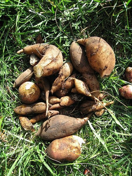 Yacon tubers, source of yacon sugar