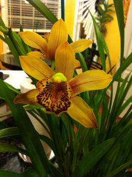 """Cymbidium Enzan Forest """"Majolica"""" - one of several orchids I bought at Seagrove Orchids."""