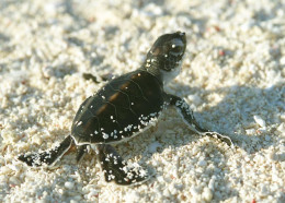 A baby green turtle starts to struggle for life in his habitat, open seas.