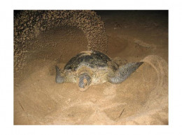 Mother Green Turtle (Chelonia mydas) is going to lay eggs at Pangumbahan beach.
