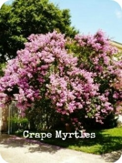 Crape-Myrtles in Southern Landscaping
