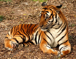 Interesting Facts About The Tiger
