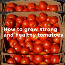How to Grow Healthy Tomato Plants