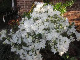 Blooming white azalea bush