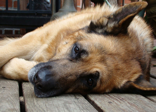When your pet is in pain, it will exhibit signs of restlessness or decreased activity levels.