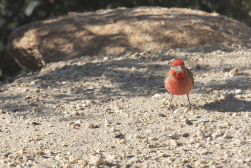 Purple Finch (Carpodacus purpureus) standing on Mother Earth