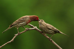 A male feeding a young on a branch. (See capsule 'Feeding.')