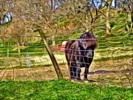 A Shetland Pony.