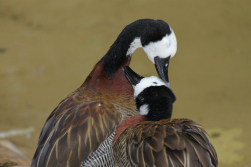 Two White-face Whistling Ducks grooming each other at the Oregon Zoo. (See capsule 'Preening and grooming.')