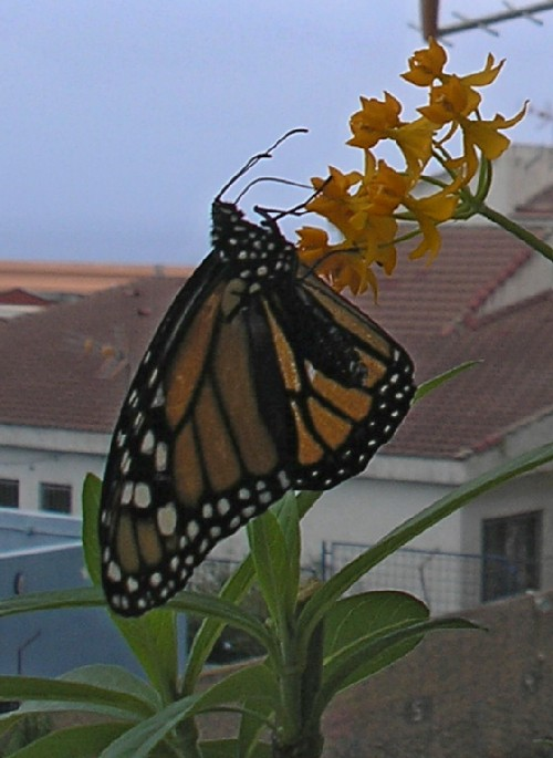 The 3-winged female Monarch Butterfly