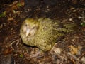 Endangered Birds: The Kakapo Parrot
