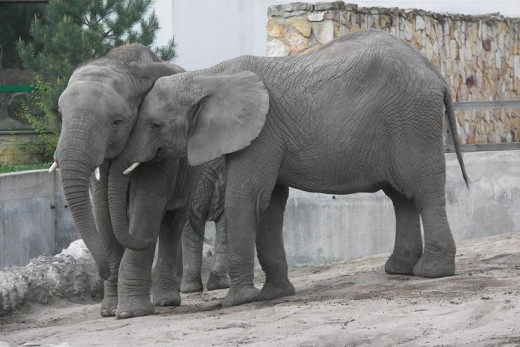 Even elephants can show affection.