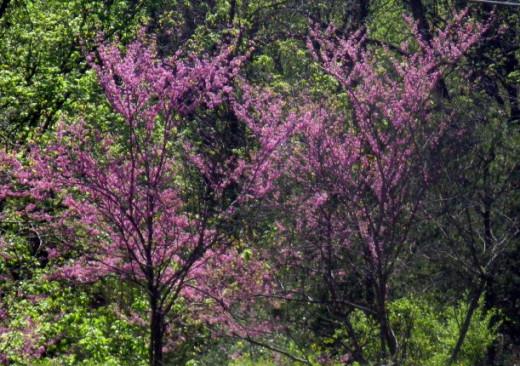 Redbuds in bloom