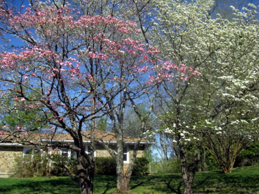 Pink and White Dogwoods bloom