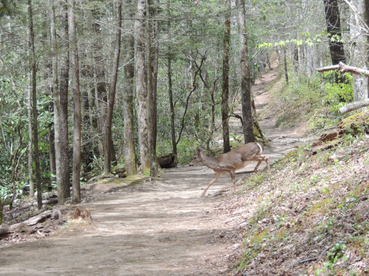 Same deer crossing the trail to Abrams Falls
