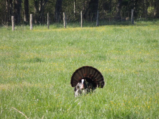 Another turkey that we saw in Cades Cove