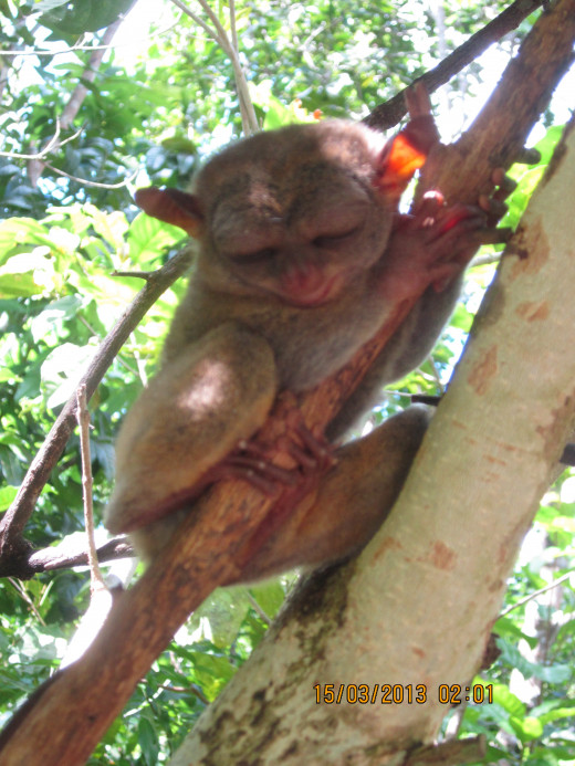 It was late afternoon, so this tarsier was probably still sleepy.