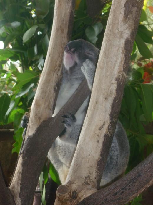 Koala - Cairns Casino Dome