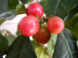 A Coffee Primer - Part 1: The History of Coffee