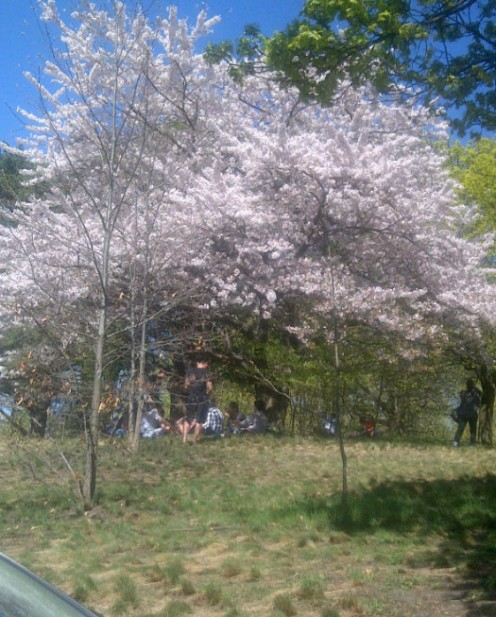 Hanami under the cherry blossoms across the clear sky of spring.~