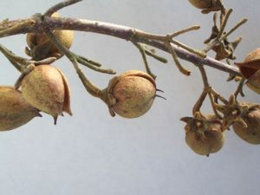 Walnuts hanging from a tree