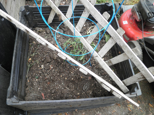 The tomato I planted in my compost bin - it has alot of growing room! Should do well.