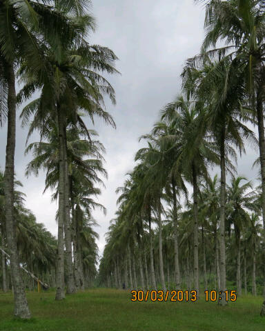 Coconut plantation at Ujung Genteng.