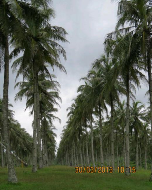 Coconut plantation at Ujung Genteng.