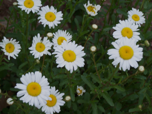 daisies in our lives.