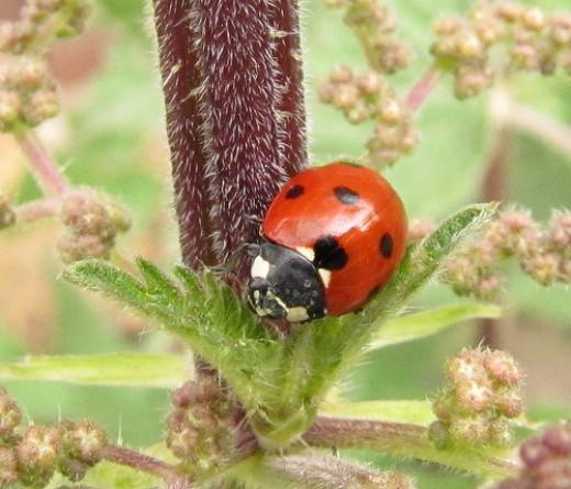 A Ladybug / Ladybird