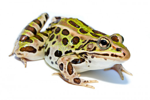 A Northern Leopard Frog