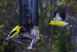 Capturing birds in flight is tough!  These goldfinches were flapping their wings pretty fast to get to the food.  A fast shutter speed is critical!