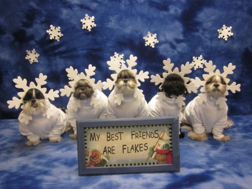 Shih Tzu Dogs dressed up as snowflakes!