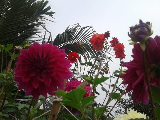 My Dahlia Garden
