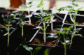How To Grow Your Tomatoes From Seeds