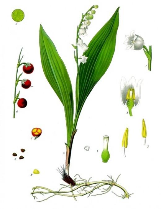 illustration courtesy of Kohler's medizinal pflanzen
